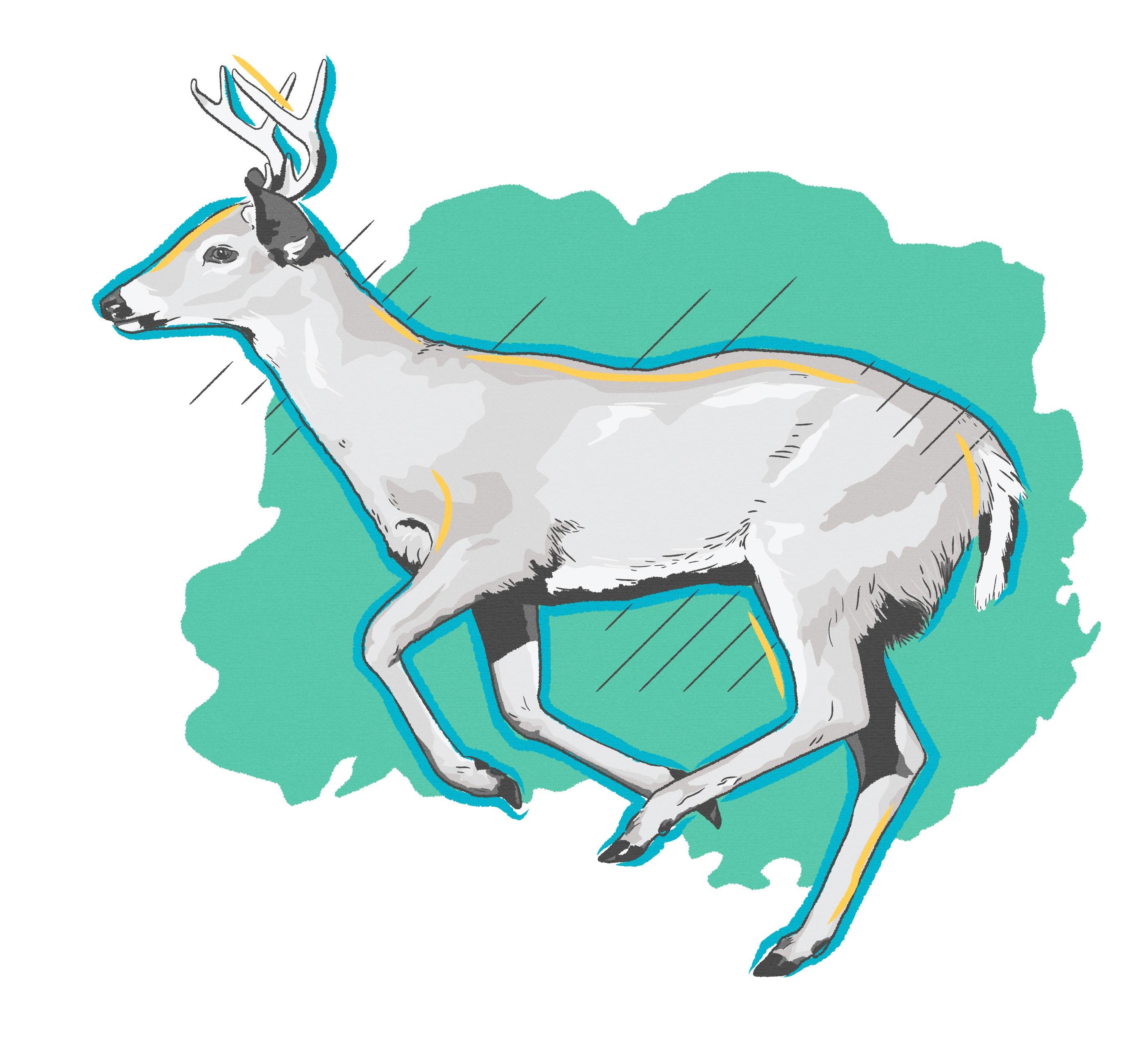 White Tail Deer, Halmar International Wildlife Illustration