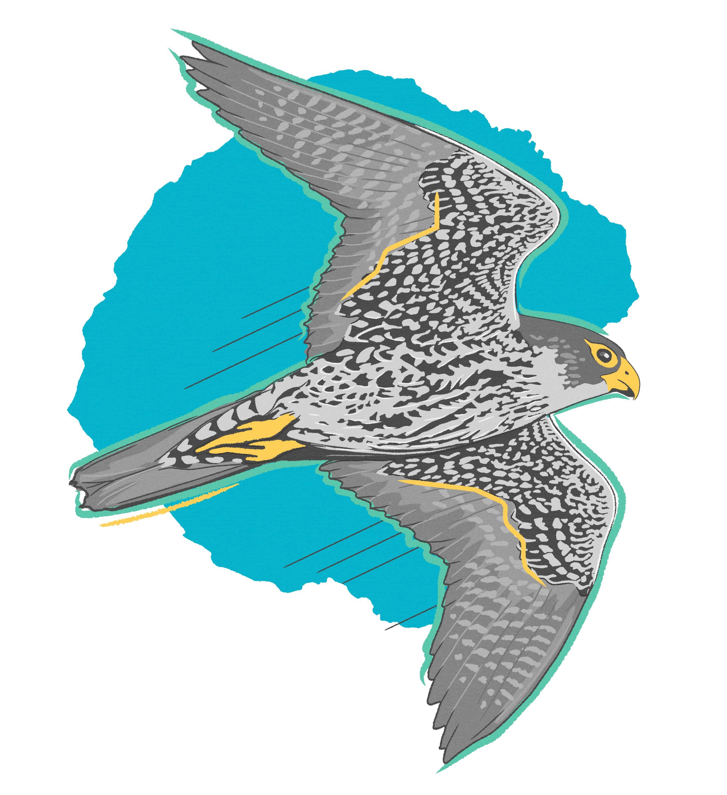Peregrine falcon, Halmar International Wildlife Illustration